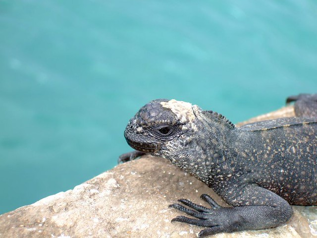 Baby Marine Iguana | Explore eksilbergenseren's photos on ...