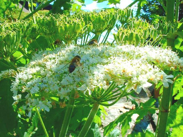 grande berce du Caucase / giant hogweed / heracleum mantegazzianum