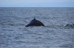 common bottlenose dolphin(0.0), short-beaked common dolphin(0.0), animal(1.0), marine mammal(1.0), sea(1.0), ocean(1.0), marine biology(1.0), dolphin(1.0),
