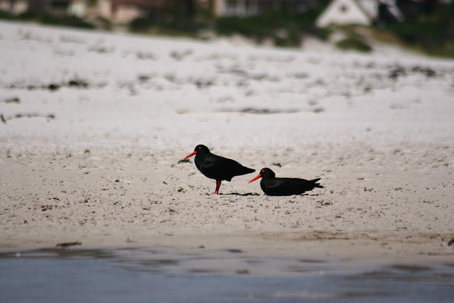 Header of African oystercatcher