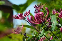 honeysuckle, blossom, shrub, flower, leaf, plant, nature, macro photography, flora,