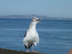 San Francisco Gull