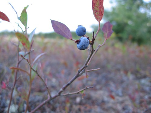 The End of the Blueberries