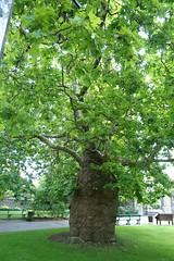 Big Tree @ Canterbury Cathedral