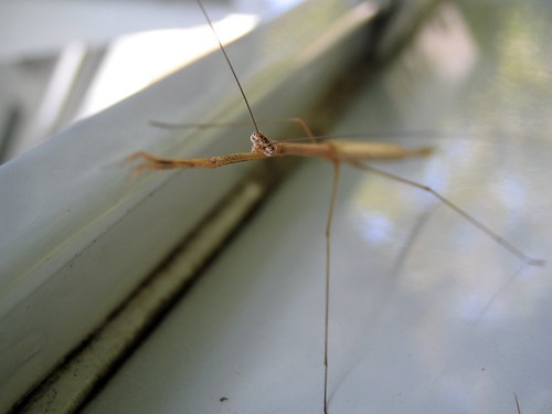 macro bug insect dof walkingstick project365 stickmantis brunneriaborealis