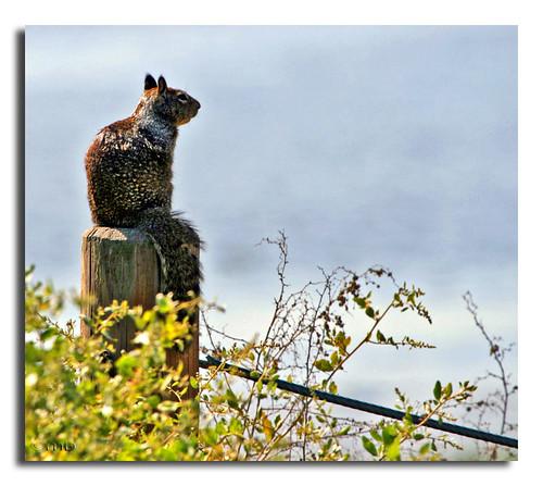 squirrel groundsquirrel paloaltobaylands