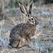 Black-tailed Jackrabbit - Photo (c) Dan Dzurisin, some rights reserved (CC BY-NC-ND)