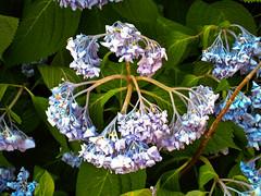 blossom(0.0), hydrangea serrata(0.0), forget-me-not(0.0), hydrangea(1.0), flower(1.0), plant(1.0), nature(1.0), lilac(1.0), wildflower(1.0), flora(1.0),