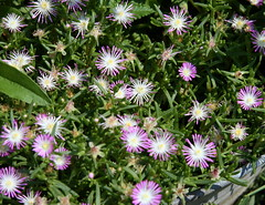 marguerite daisy(0.0), daisy(0.0), daisy(0.0), dorotheanthus bellidiformis(1.0), annual plant(1.0), flower(1.0), plant(1.0), wildflower(1.0), flora(1.0), ice plant(1.0), petal(1.0),