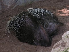 echidna, animal, porcupine, rodent, monotreme, fauna, whiskers, wildlife,