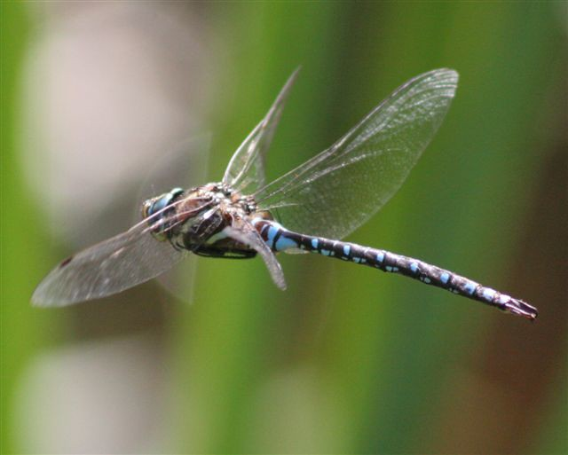 Giant dragonfly - photo#16