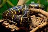 "<a href=""http://www.flickr.com/photos/sebastian_bergmann/1436869681/"">Photo of Boiga dendrophila by Sebastian Bergmann</a>"