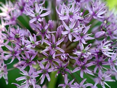 flower, plant, lilac, herb, flora,