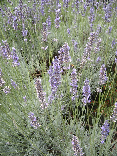 how to find pure lavender essential oils