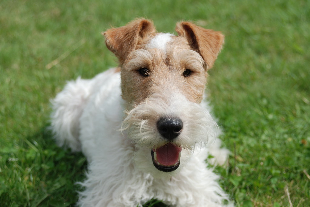Gatsby, the wire fox terrier, looking cute