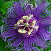 Passion Flower - No, It's Not Fake by andycarvin
