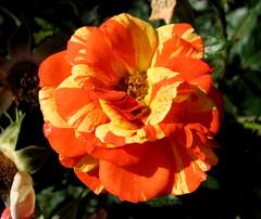 Rose Garden, Raleigh NC 6745