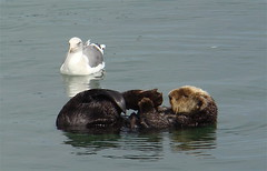 Threatened Southern sea otter (Enhydra lutris nereis) with gull