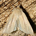 Lesser Wainscot - Photo (c) Seabrooke Leckie, some rights reserved (CC BY-NC-ND)