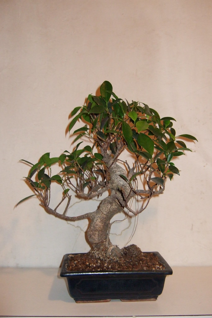 Flickr photos of bonsai ficus picssr - Bonsai zimmerpflanze ...