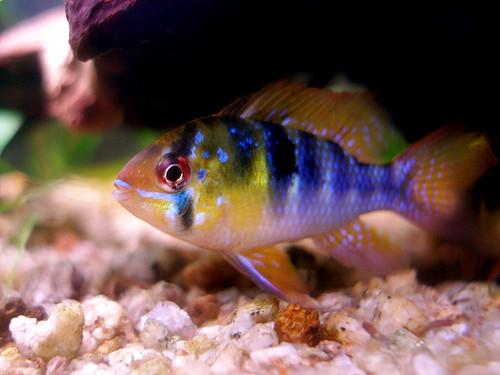 Breeding german blue ram fish my aquarium club for German ram fish