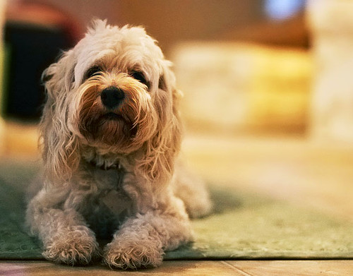 Pictures Of Maltipoo Puppies - HD Wallpapers and Pictures ... |Teacup Cockapoo