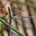 Spread-winged Damselflies - Photo (c) Lauren Sobkoviak, some rights reserved (CC BY-NC-ND)