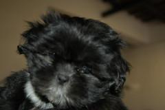 dog breed, animal, puppy, dog, schnoodle, pet, bolonka, poodle crossbreed, havanese, lhasa apso, morkie, bichon, chinese imperial dog, shih tzu, affenpinscher, carnivoran,