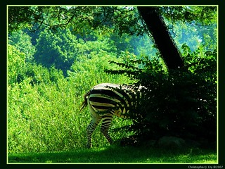 Has anyone seen a Zebra around here?