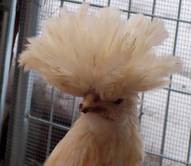 Buff Laced Polish Chicken Chicken Buff Laced Polish Hen