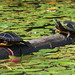 basking painted turtles Chrysemys picta
