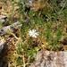 Small photo of Stellaria pungens