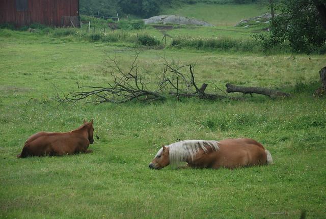 Horses rest on Uto