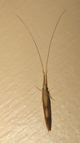 caddisfly triaenodes leptoceridae leptoceroidea brevitentoria integripalpia trichoptera unidentified brown dorsal insect fauna monterey berkshirecounty massachusetts ma july