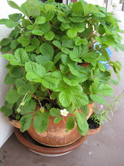 Another shot of the strawberry pot.