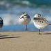 Sanderling Hopscotch by Pat Ulrich