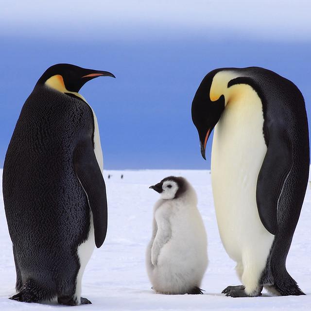 Familia de pingüinos emperadores en la Antártida