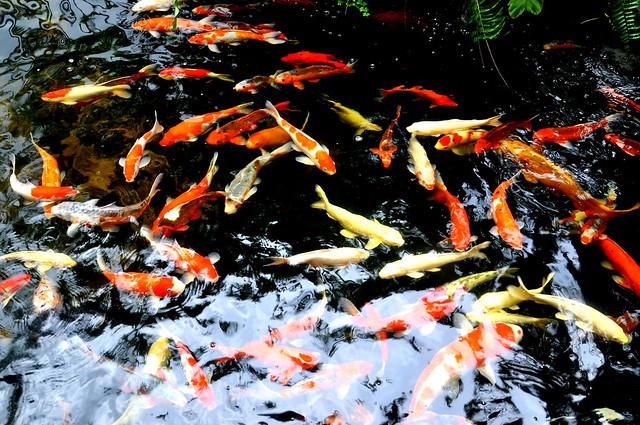 Koi Fish Pond Flickr Photo Sharing