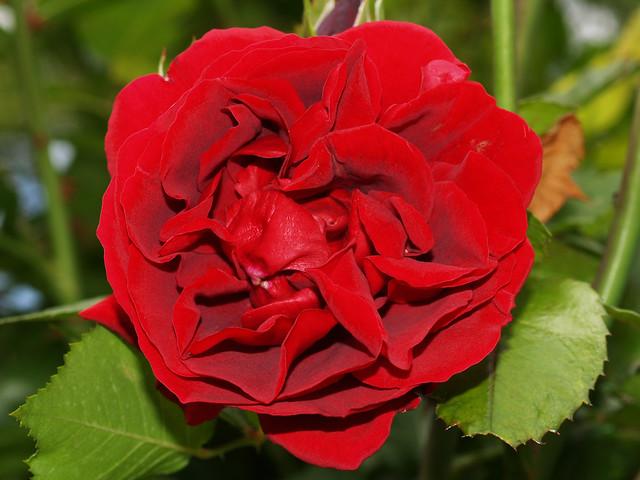 roses 28 a gallery on flickr. Black Bedroom Furniture Sets. Home Design Ideas