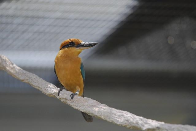 Guam Micronesian Kingfisher (Todirhamphus cinnamominus cinnamominus)