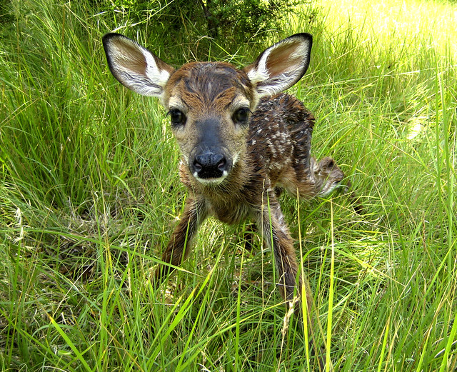 baby whitetail fawn in - photo #31
