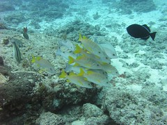 school of snapper with black durgon at Paradise Reef, Cozumel