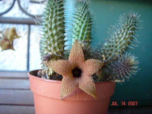 Huernia pillansii - miche 06's picture