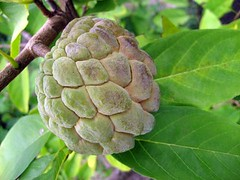 leaf, tree, flora, fruit, sugar-apple,