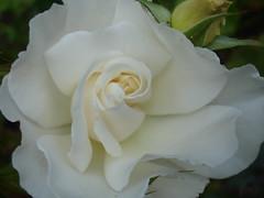 rosa 㗠centifolia(0.0), garden roses(1.0), floribunda(1.0), flower(1.0), white(1.0), flora(1.0), gardenia(1.0), petal(1.0),