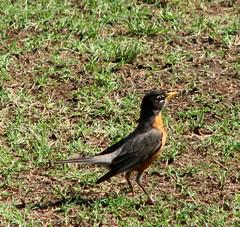 Robin, Rose Garden, Raleigh NC 6753
