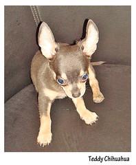 TEDDY Chihuahua