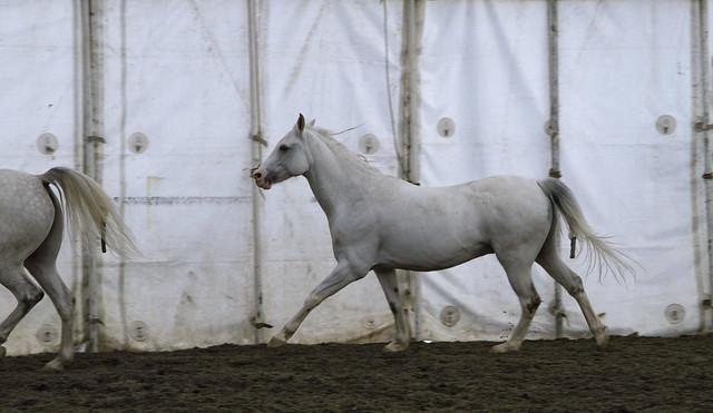 Cavalia horses, rehearsal, San Francisco (2010)