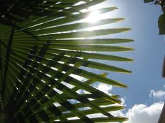sun view through a palm tree leaf