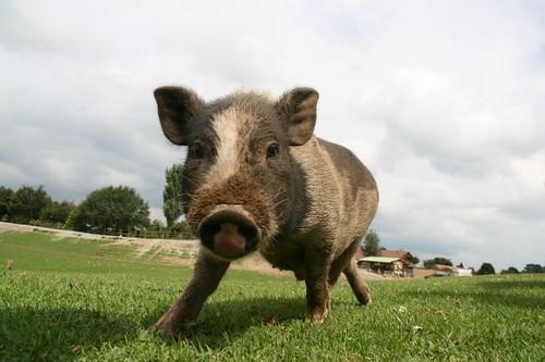 nun, ein Schwein // a pig